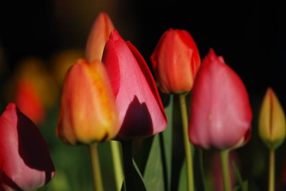bunte Tulpen vor dunklem Hintergrund